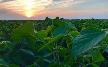 Soybeans rank third in Minnesota's top agricultural products, behind corn and hogs and ahead of dairy products and cattle. (smallgrains.org)