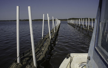 Oyster aquaculture is a growing industry, and would include creating structures along the North Carolina coast, much like these in Florida. (Florida Sea Grant)