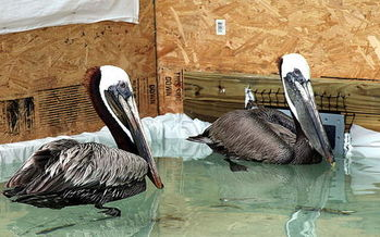 Thousands of oil-covered birds had to be rehabilitated after the Deepwater Horizon oil rig explosion in the Gulf of Mexico. (MacKenzie/US Fish & Wildlife Service)