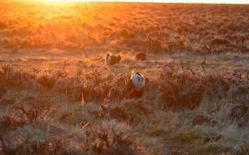 Scientists worry that conservation plans for sage grouse that aren't based on their whole habitat won't be effective. (Jennifer Strickland/USFWS)
