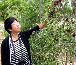 AmeriZao is a newly trademarked name of a jujube fruit tree variety cultivated by New Mexico State University Professor Shengrui Yao. (newscenternmsu.edu)