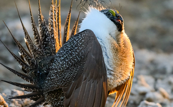 Critics of the BLM's proposed changes to the already-approved Greater sage grouse Management Plan, that spans 11 states, say they are not based in science. (abcbirds.org)