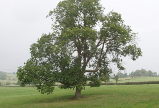 The Emerald Ash Borer has already killed 60 million ash trees across the United States since 2002. (commons.wikimedia.org)