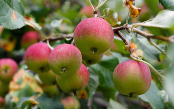 Chlorpyrifos is used on apples and other crops, which some groups argue is harmful to farmworkers and children. (tubafil/Flickr)