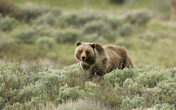 Up to 10 male grizzly bears and one female grizzly could be hunted this fall in Wyoming. (Jim Peaco/Yellowstone National Park)