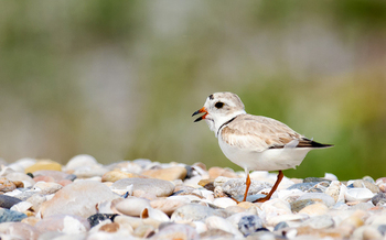 Piping plovers are territorial and don't nest close together, but often spread out across a long stretch of beach. (Wikimedia Commons)