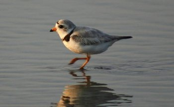 The piping plover population in the Great Lakes states is considered endangered, according to the U.S. Fish and Wildlife Service. (William Picard/freeimages.com)