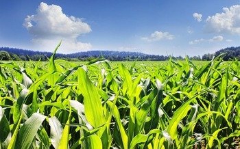 Millions of acres of wildlife habitat have been converted to crops for ethanol production. (GregMontani/Pixabay)