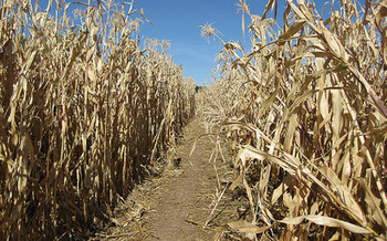 Research suggests the amounts of water and land needed to grow corn for ethanol are not sustainable in the U.S. (Flickr)