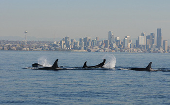 There are only about 75 Southern Resident orcas left in the Northwest. (C. Emmons/NOAA Fisheries)