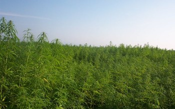 Hemp product sales reached $820 million in 2017. (Aleks/Wikimedia Commons)