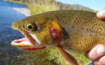 Native cutthroat trout, which thrive in cold water, are at greater risk from warmer summers that cause snowpack to melt sooner and lead to lower water levels by midsummer. (Waldemarpaetz/Wikimedia Commons)