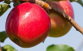 The University of Minnesota has developed 27 varieties of apples since 1878, including the popular Honeycrisp apple. (UNM)