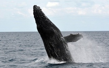 Whale sightings from New York beaches became common after the menhaden catch was limited. (annca/Pixabay)