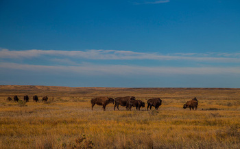 Sixty million bison once roamed North America, but only a small fraction of that number remain. (American Prairie Reserve)