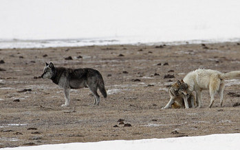 Wolves have heightened senses that can detect diseased prey, according to biologists. (Jim Peaco/Yellowstone National Park)