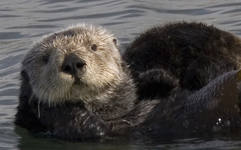 California sea otters are federally protected, but aren't currently on the state endangered species list. A proposed bill would add them if the feds move to weaken protections. (Wikimedia Commons)