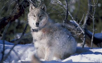 Cutting back recreational hunts of wolves and other predators could help slow Chronic Wasting Disease, according to one biologist. (William Campbell/USFWS)