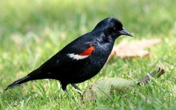Federal protection for the tri-colored blackbird would hamper government eradication efforts designed to protect crops. (Monte M. Taylor/Wikimedia Commons)