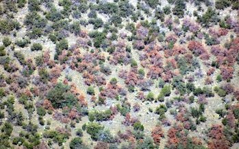 Aerial surveys show major damage to pi�on pines on the Huachuca Mountains inside the Fort Huachuca military installation in southeast Arizona. (U.S. Forest Service)