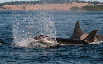 The Northwest's Southern Resident orca population is down to 75, the lowest number in 30 years. (Ingrid Taylar/Flickr)
