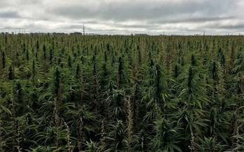 South Dakota hopes to diversify its cash crops with successful production of hemp, as shown here in Polk County, Minn. (Minnesota Department of Agriculture)