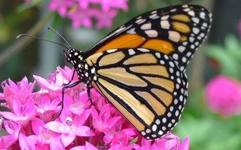 The monarch butterfly, which is under consideration for endangered status, depends on milkweed, a plant being lost to crop production linked to the Renewable Fuel Standard. (Pollinators/Pixabay)