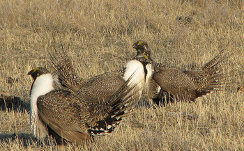 Montana passed a management plan in 2015 that helped keep sage grouse off the federal endangered species list. (U.S. Department of Agriculture/Flickr)