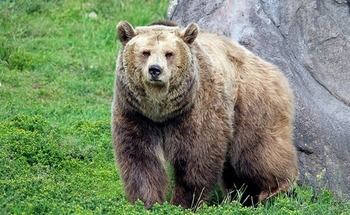 Encounters with grizzlies are rare, but increase during hunting season, as bears preparing for hibernation are drawn to innards left by hunters after field-stripping game. (Pixabay)