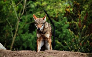 North Carolina's Albemarle Peninsula is home to the world's only wild population of red wolves. (Matthew Zalewski/Wikimedia Commons)
