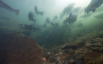 Coho salmon numbers in Oregon dropped below 30,000 in the 1990s from historic averages above 1 million. (Oregon Department of Fish and Wildlife/Flickr)