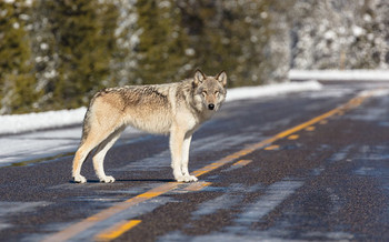 Yellowstone National Park officials work to curb excessive human-caused deaths of wolves, including being struck by cars. (National Park Service)
