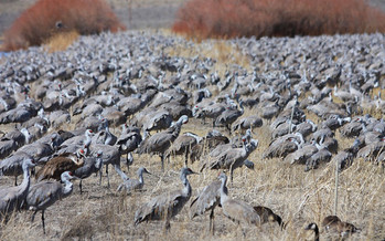 Habitat fragmentation is a major threat to migrating species around the world. (Mark A. Bauer/USGS)