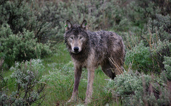 There are 137 known wolves in Oregon, according to the latest count. (Oregon Department of Fish and Wildlife/Flickr)