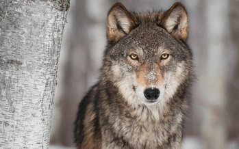 California has large swaths of suitable gray wolf habitat, but only one known wolf pack, known as the Lassen pack. (deborahcat/iStockphoto)
