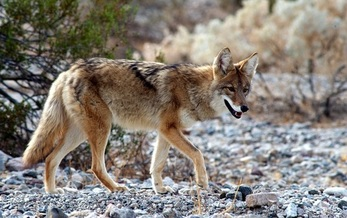 A proposed rule change by the Arizona Game and Fish Commission would end hunting contests that often target such apex predators as coyotes, bobcats and foxes. (GabrielAssan/AdobeStock)