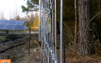 A fox passes through wildlife-permeable fencing at a solar farm. This photo was taken by a motion-sensitive camera. (Pine Gate Renewables)  A fox passes through wildlife-permeable fencing at a solar farm. This photo was taken by a motion-sensitive camera. (Pine Gate Renewables)