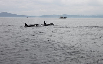 Only 73 orcas remain in the Northwest's endangered Southern Resident population. (fletcherjcm/Flickr)