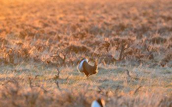 Sage grouse have lost 95 percent of their historic population. (Jennifer Strickland/USFWS)