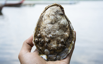 The oyster populations from Maine to Florida has shrunk to less than 10% of its historic size. (nulovetoyo/Adobe Stock)