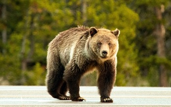 Tens of thousands of grizzly bears used to range from northern Mexico to Alaska, but unregulated hunting has reduced their number to less than 2,000, putting them on the Endangered Species List. (National Park Service)