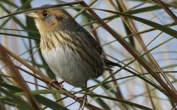 Rising sea levels could drive the saltmarsh sparrow to extinction within 50 years. (CT Audubon Society)