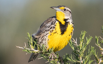 Oregon's state bird, the western meadowlark, is considered a sensitive species that would benefit from proactive conservation efforts. (Becky Matsubara/Flickr)