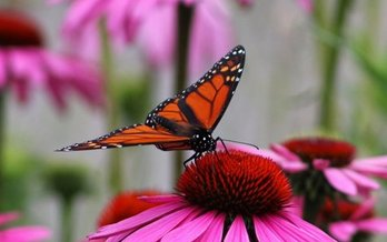 New legislation in Congress would fund projects to plant more habitat for at-risk species, such as the monarch butterfly. (David P. Whelan/Morguefile)