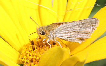 The Poweshiek Skipperling butterfly is found in only six places in the world � and four of them are in Michigan. New legislation in Congress would help preserve remaining habitat. (U.S. Fish and Wildlife Service)