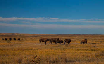 There are 16 chances open to folks to harvest bison on the American Prairie Reserve. (Dennis J. Lingohr/American Prairie Reserve)
