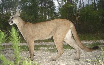 The Florida panther, along with many species of birds, amphibians, freshwater fish, reptiles and other wildlife, have been determined to be priorities for conservation action in Florida. (Larry W. Richardson/USFWS/Flickr)
