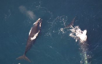 Currently the right whale birth rate is lower than the mortality rate. (Lauren Packard/NOAA)