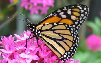 New rules announced Monday by the Trump administration would make it harder for dwindling species such as the monarch butterfly to receive federal protection. (Pollinators/Pixabay)