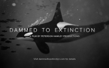 A new film underscores the plight of the remaining 73 Southern Resident orcas in the Northwest, by examining their primary food source. (Peterson Hawley Productions)